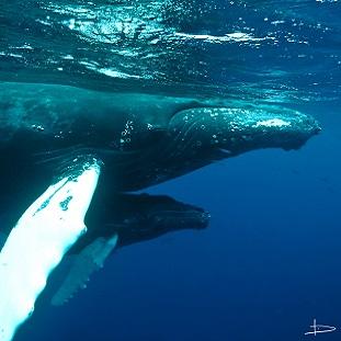 Partir plonger avec les baleines