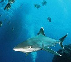 Partir plongee avec les requins