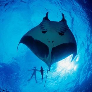Partir plonger pour les mantas