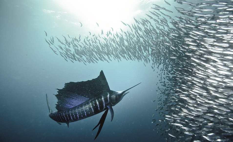 S jour plong e sardine run en afrique du sud 8 jours avec for What is the fastest swimming fish
